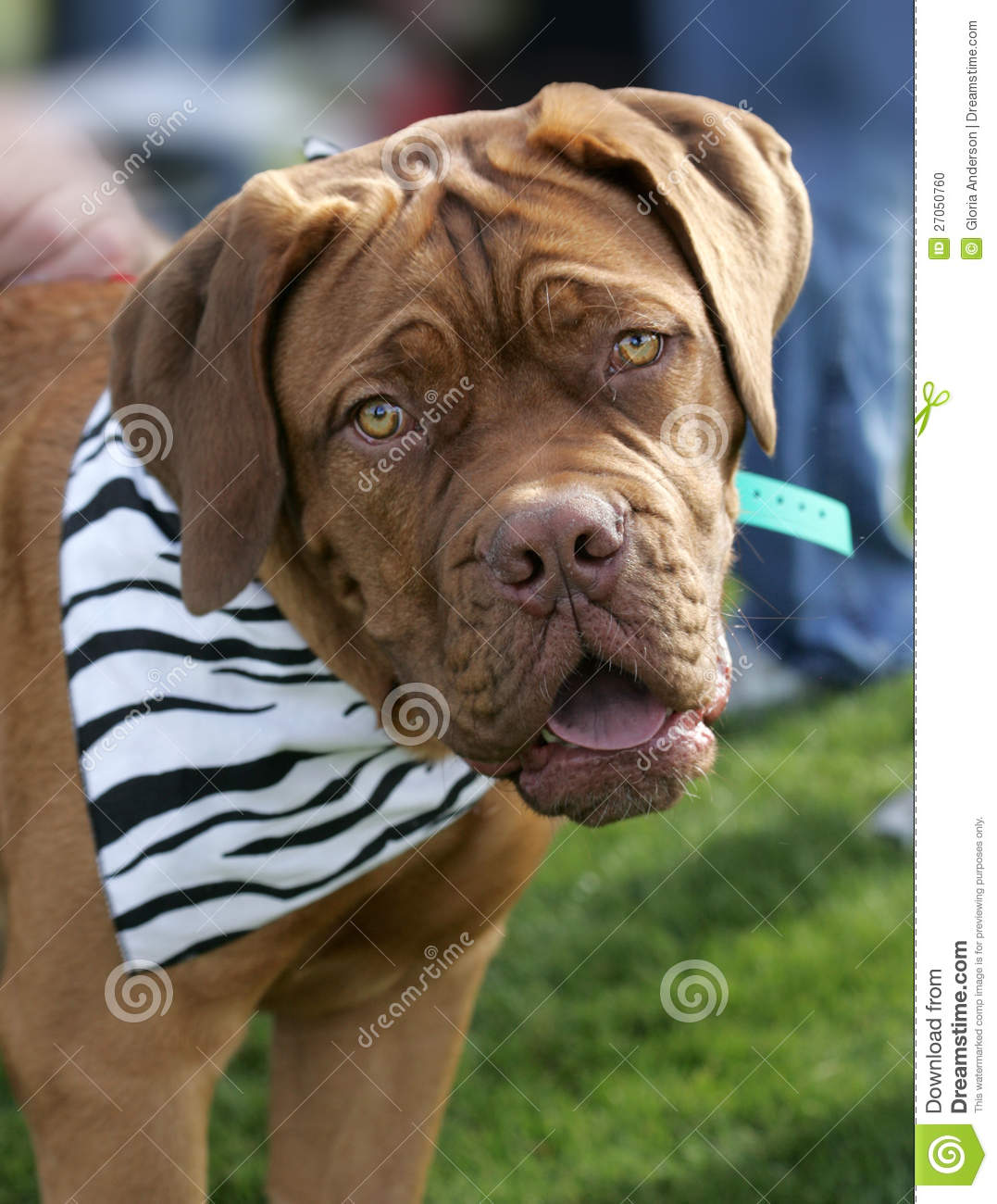 Sonrisa de Dogue de Bordeaux