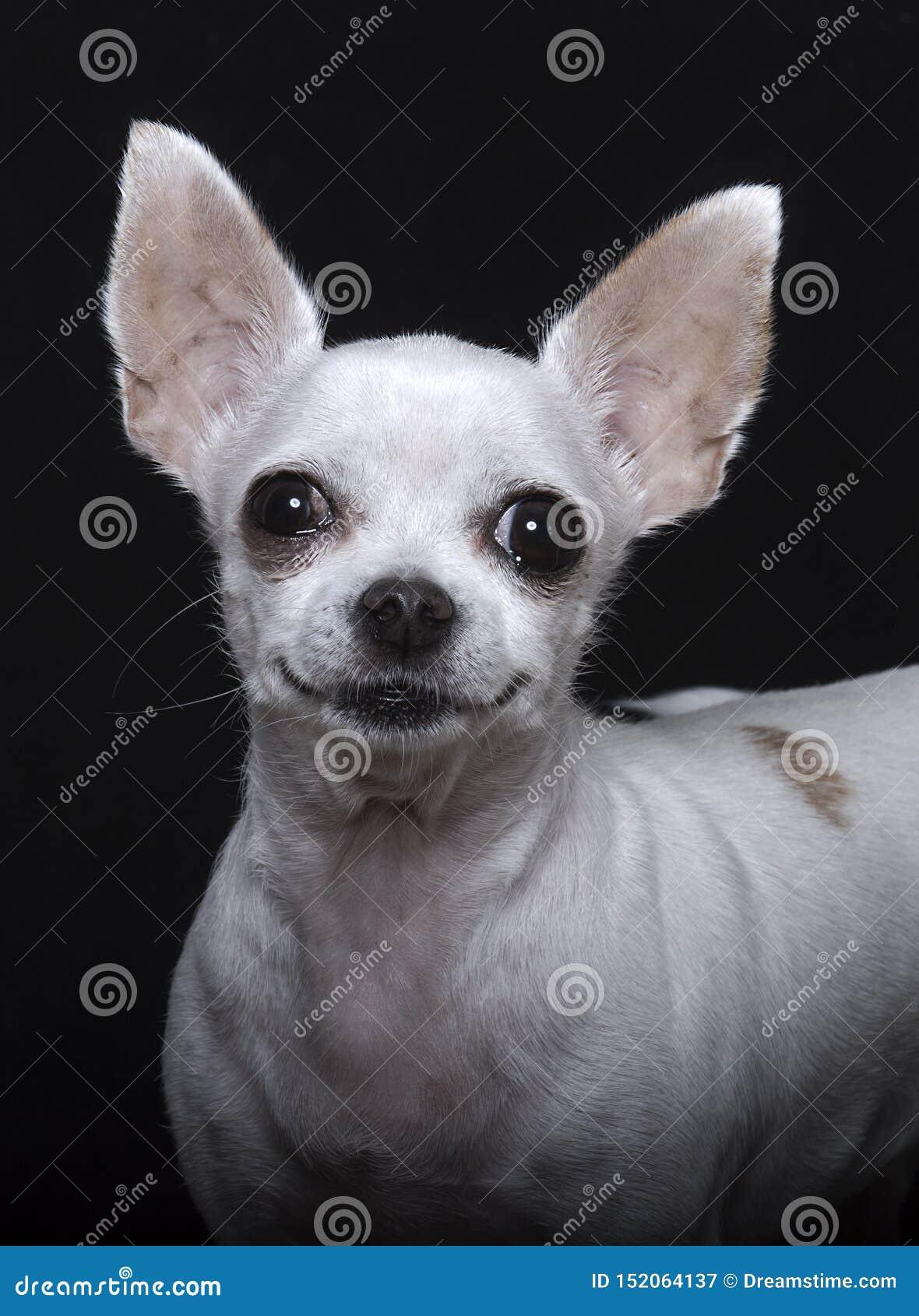 Sonrisa, nariz negra y oídos grandes de la chihuahua