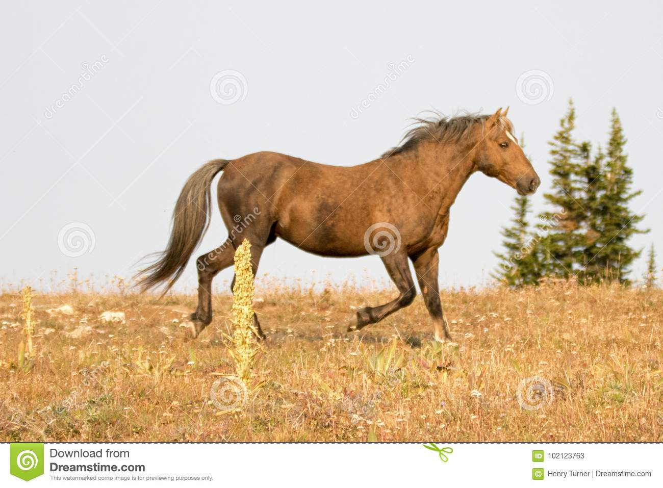 Sooty Palomino Stallion Wild Horse Running On A Ridge In The Pryor Mountains Wild Horse Range In Montana Usa Stock Image Image Of Sorrel Coyote 102123763