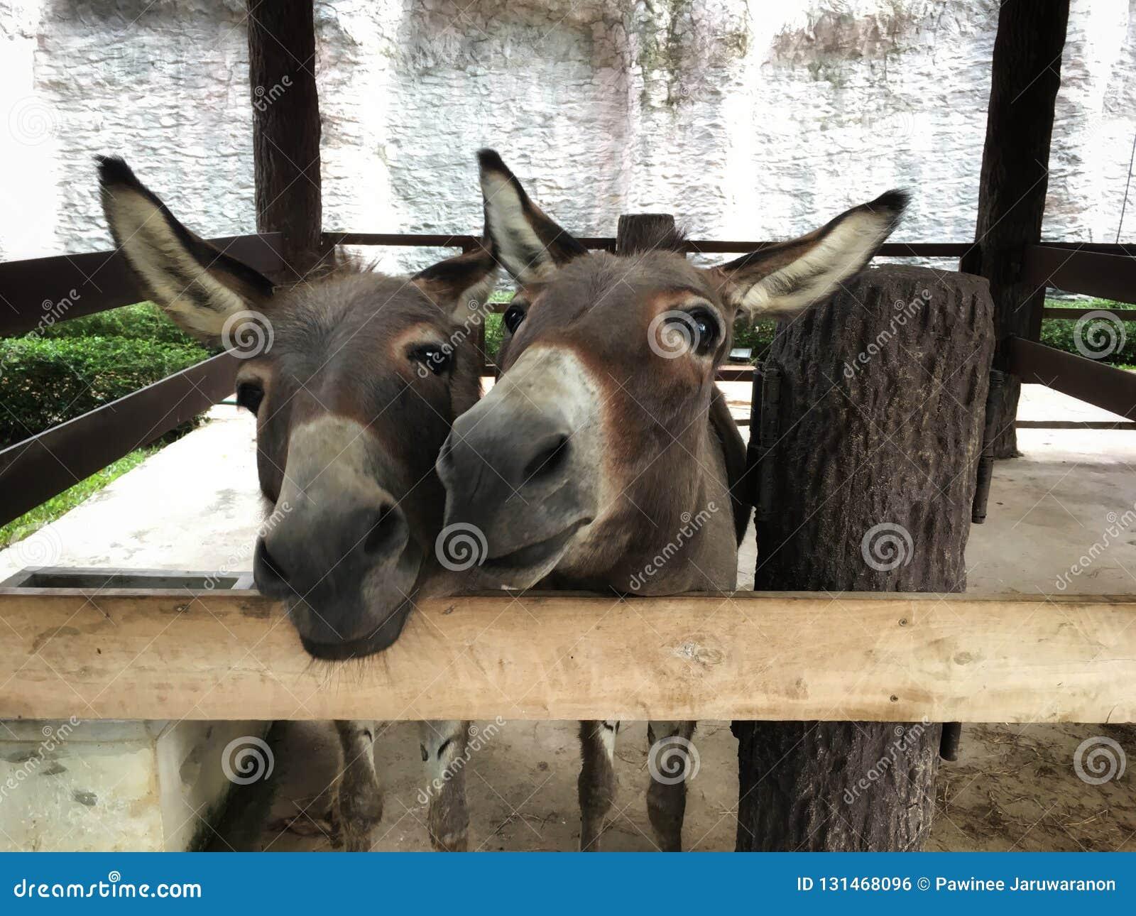 Soporte y sonrisa gemelos del burro por otra parte en corral
