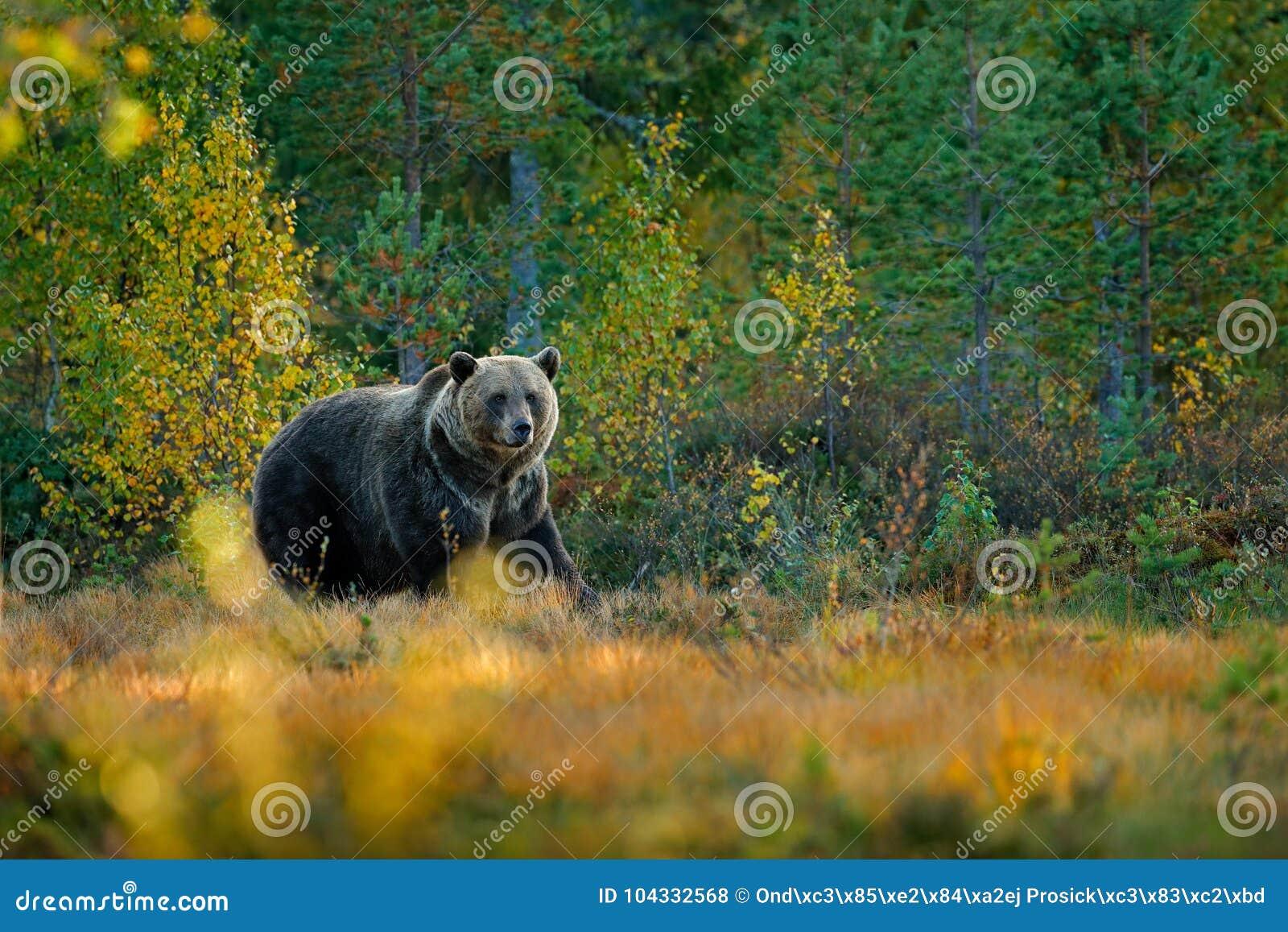 Sopporti nascosto negli alberi gialli di autunno della foresta con l orso Bello orso bruno che cammina intorno al lago con i colo