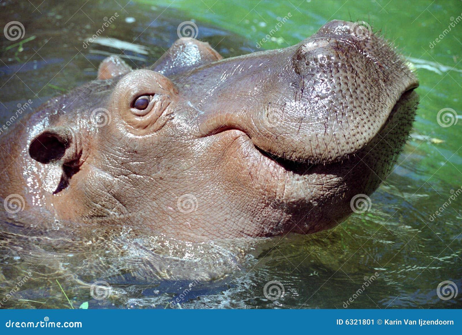 Sorriso do hipopótamo