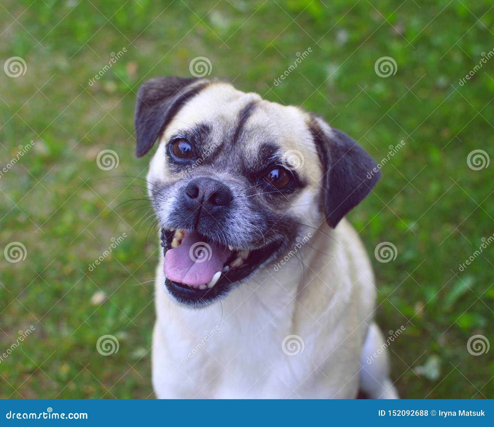 Sorrisos bonitos do Pug a um homem com uma câmera