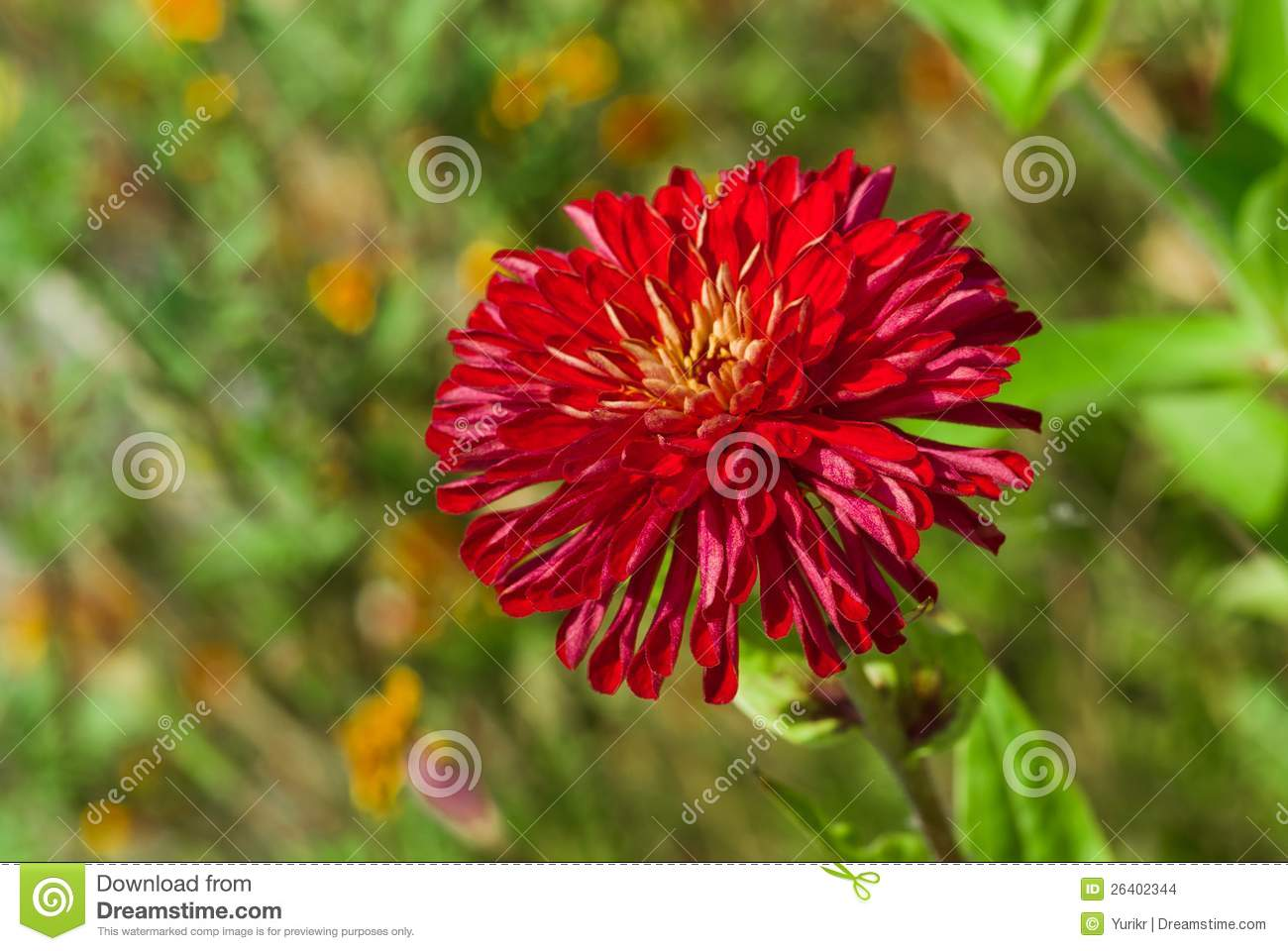 sort of an aster flower stock images  image, Natural flower