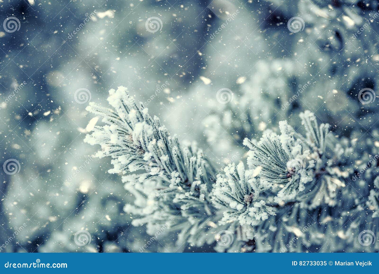 Sosna rozgałęzia się zakrywającego mróz w śnieżnej atmosferze