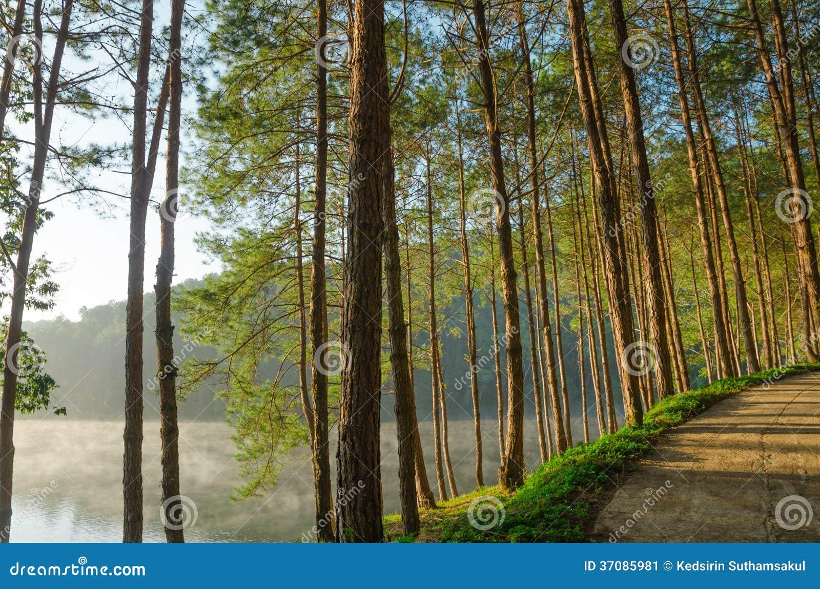Download Sosnowi Lasy I Jeziora W Ranku Przy Ssanie W żołądku Ung, Tajlandia Obraz Stock - Obraz złożonej z krajobraz, tło: 37085981