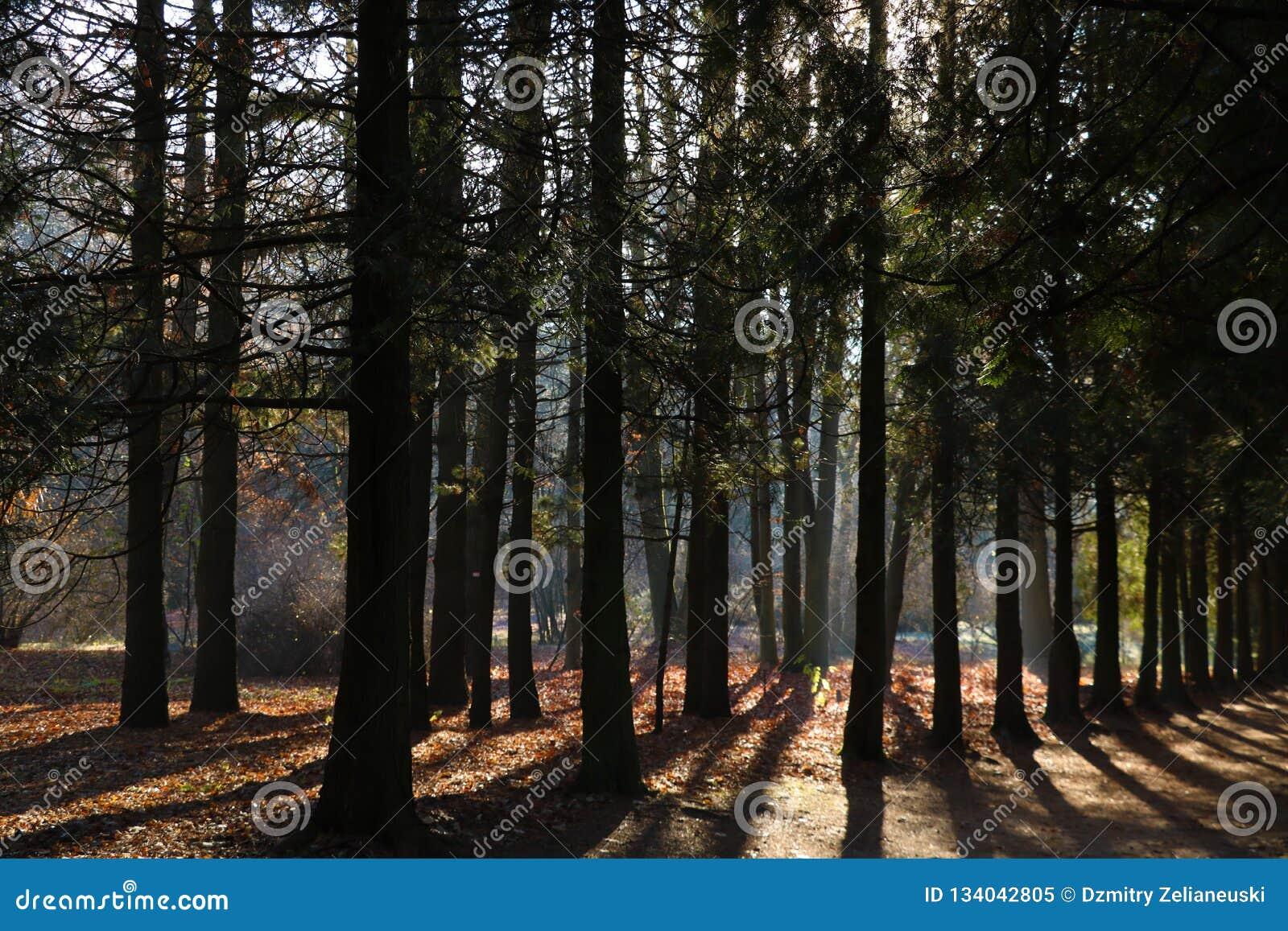Sosnowi lasy w zwrotnikach są bogaci tworzą światu tlen w kształtują teren zielonego tło