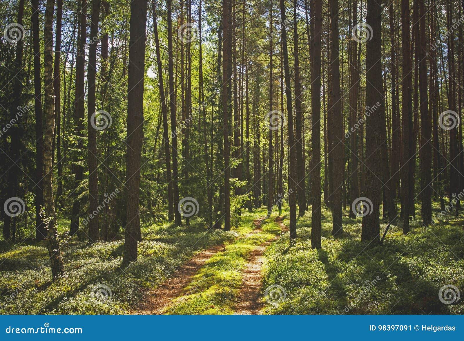Sosnowy las i ścieżka