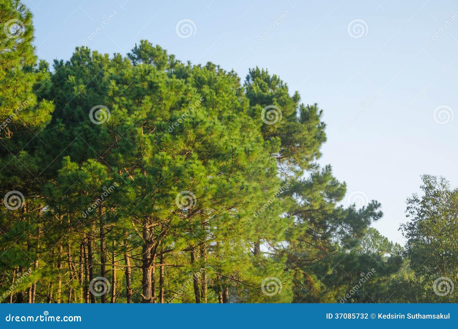 Download Sosnowy Las I Niebieskie Niebo Zdjęcie Stock - Obraz złożonej z conifer, flory: 37085732