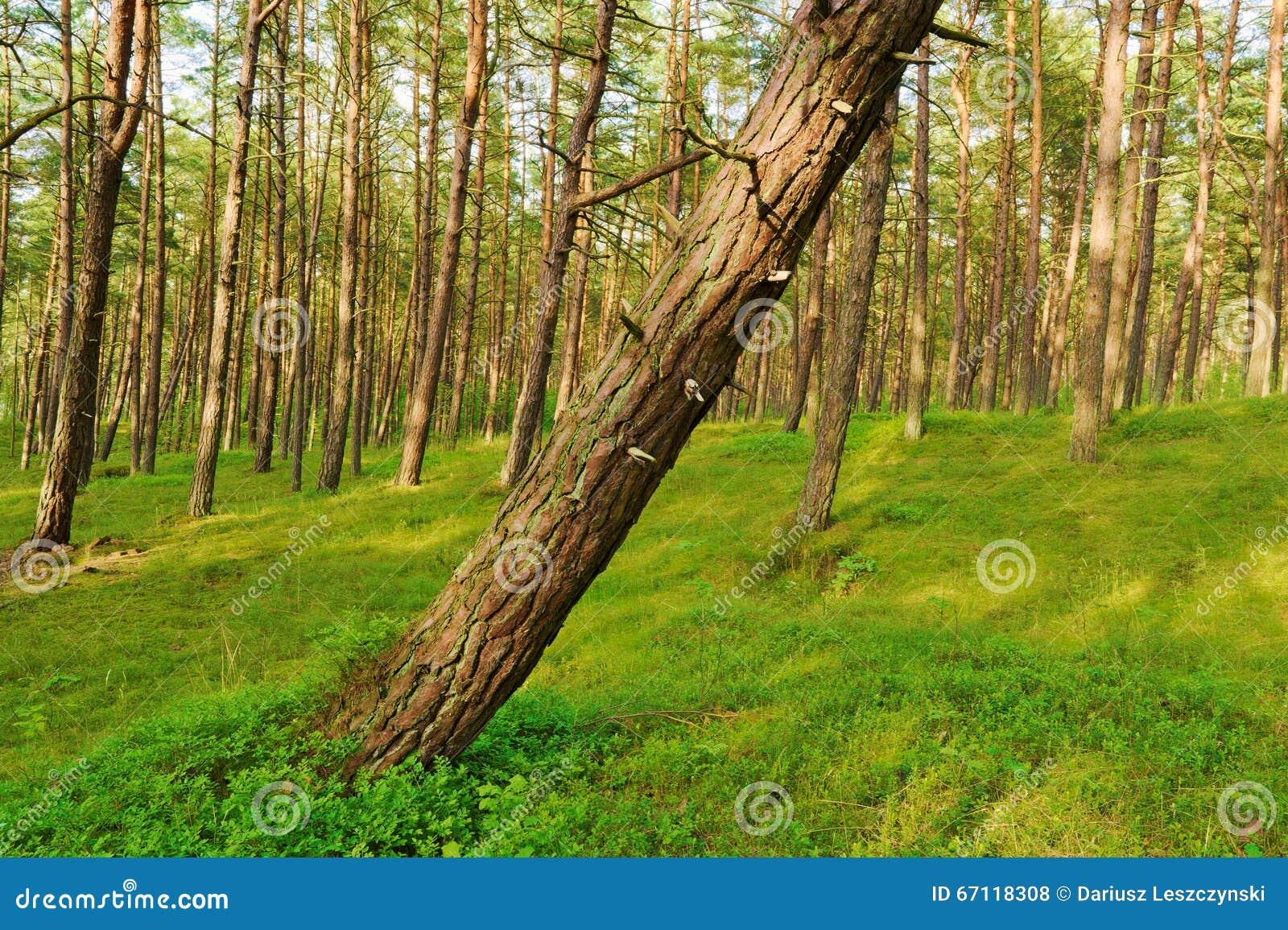 Sosnowy las z opartym drzewem na przedpolu