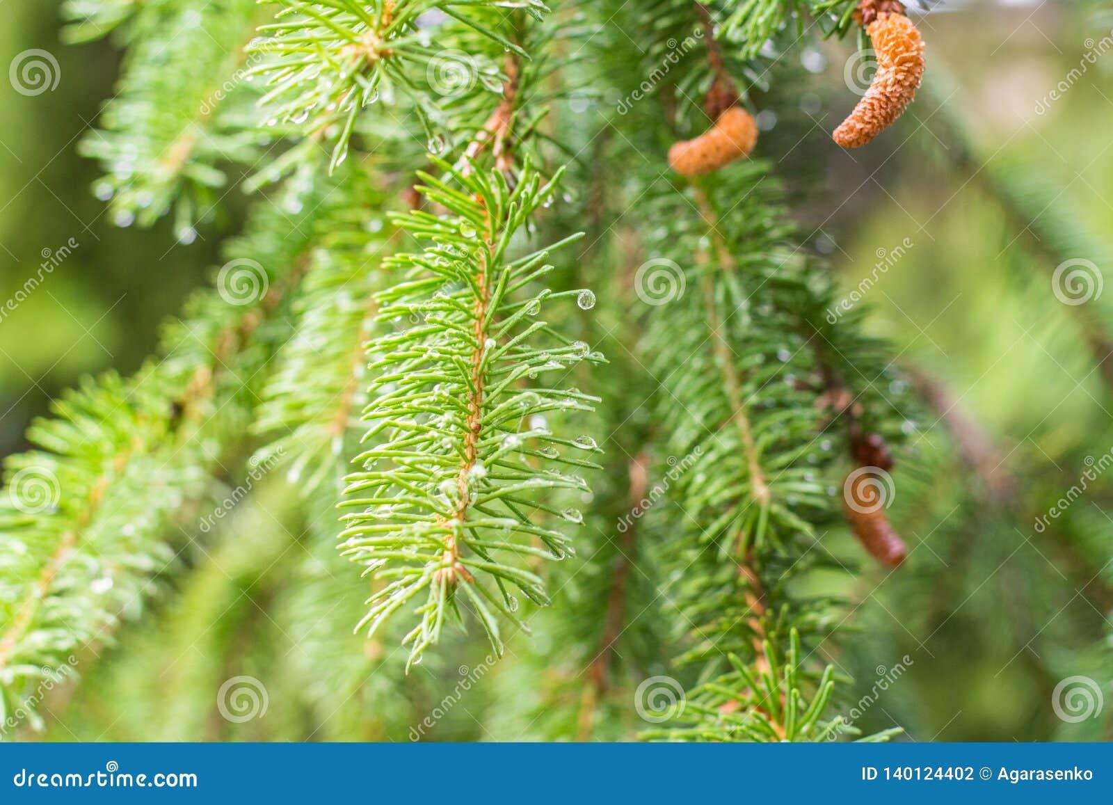 Sosny gałąź na sośnie Sosna w sosnowej lasowej Dzikiej naturze greenfield Park Plenerowa fotografia