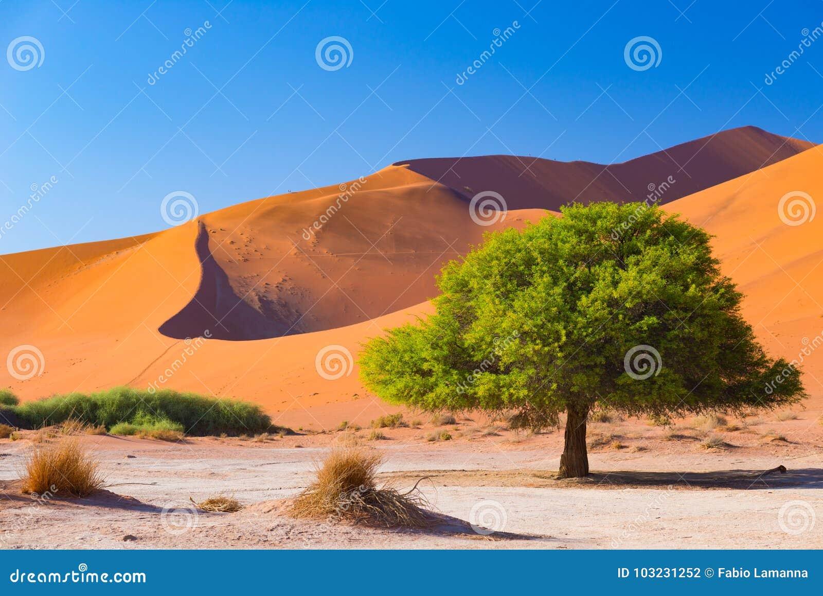 Sossusvlei Namibia, scenic clay salt flat with braided Acacia trees and majestic sand dunes. Namib Naukluft National Park, travel