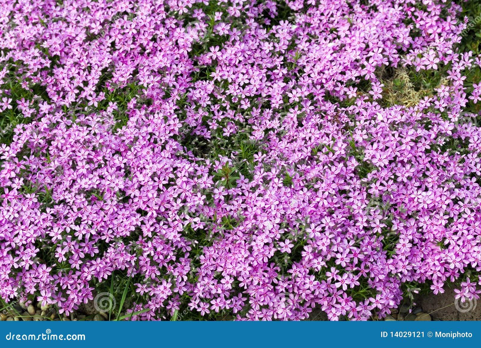 Sosta giardino con i fiori garofano viola vicolo for Giardino con fiori