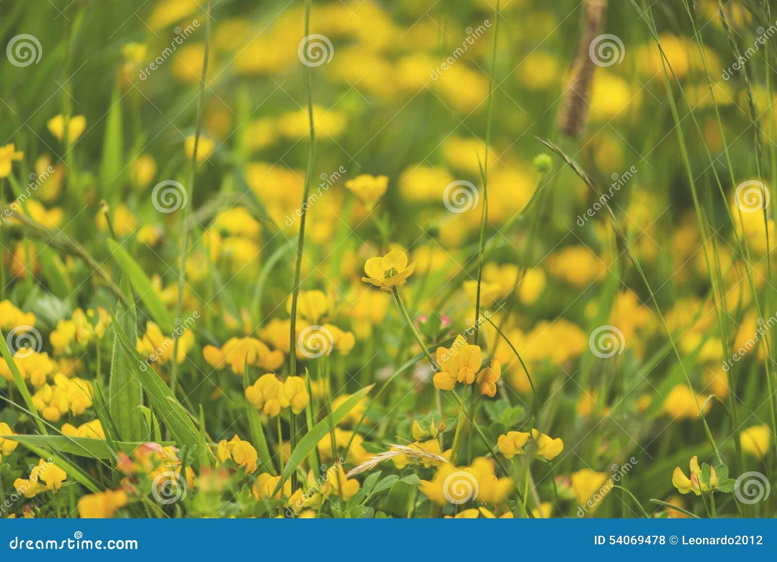 Sottragga ed offusca il fondo dei fiori di giallo della molla