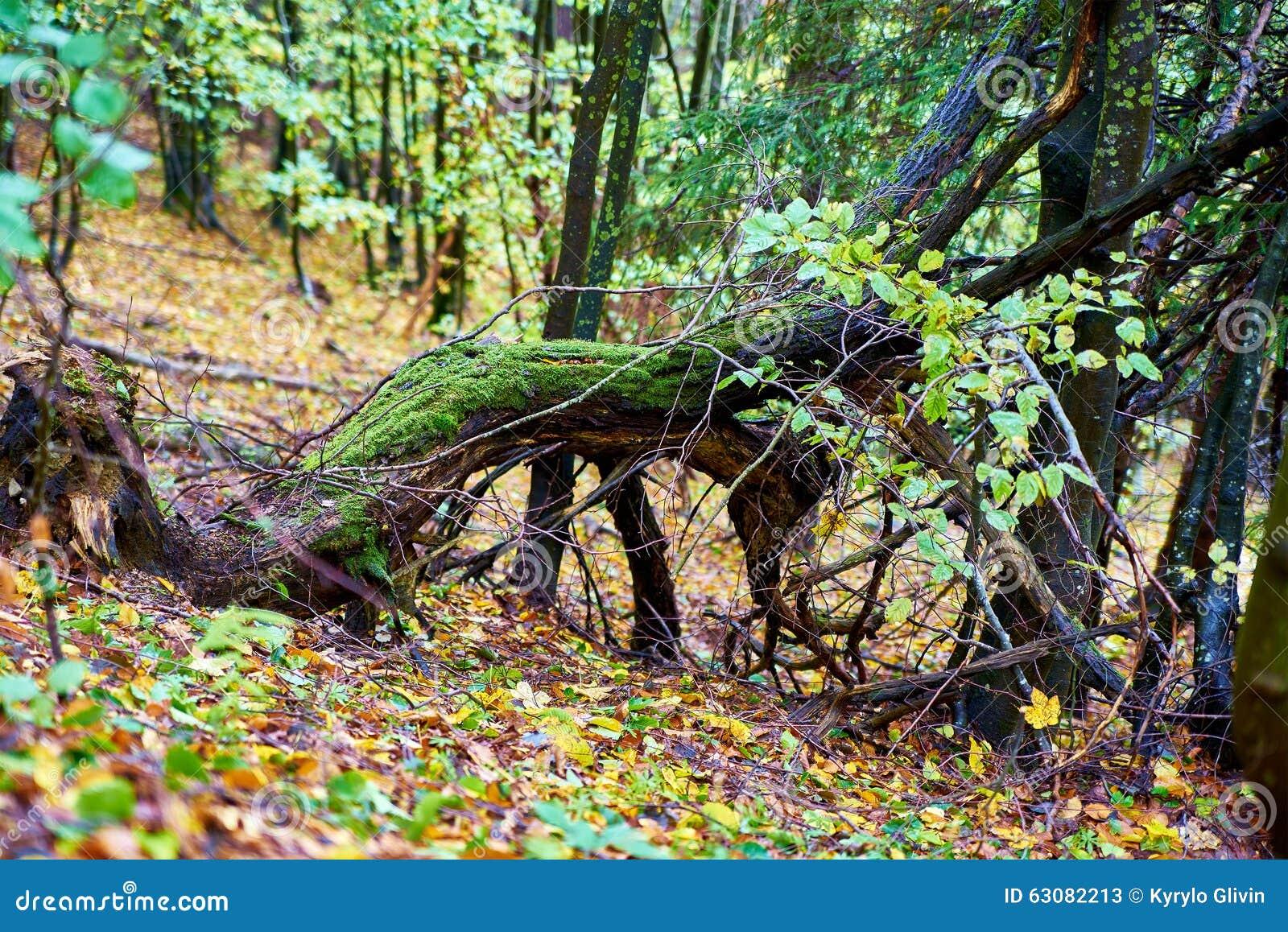 Download Souche De Tronçon D'accroc Dans La Forêt Image stock - Image du fond, branchement: 63082213