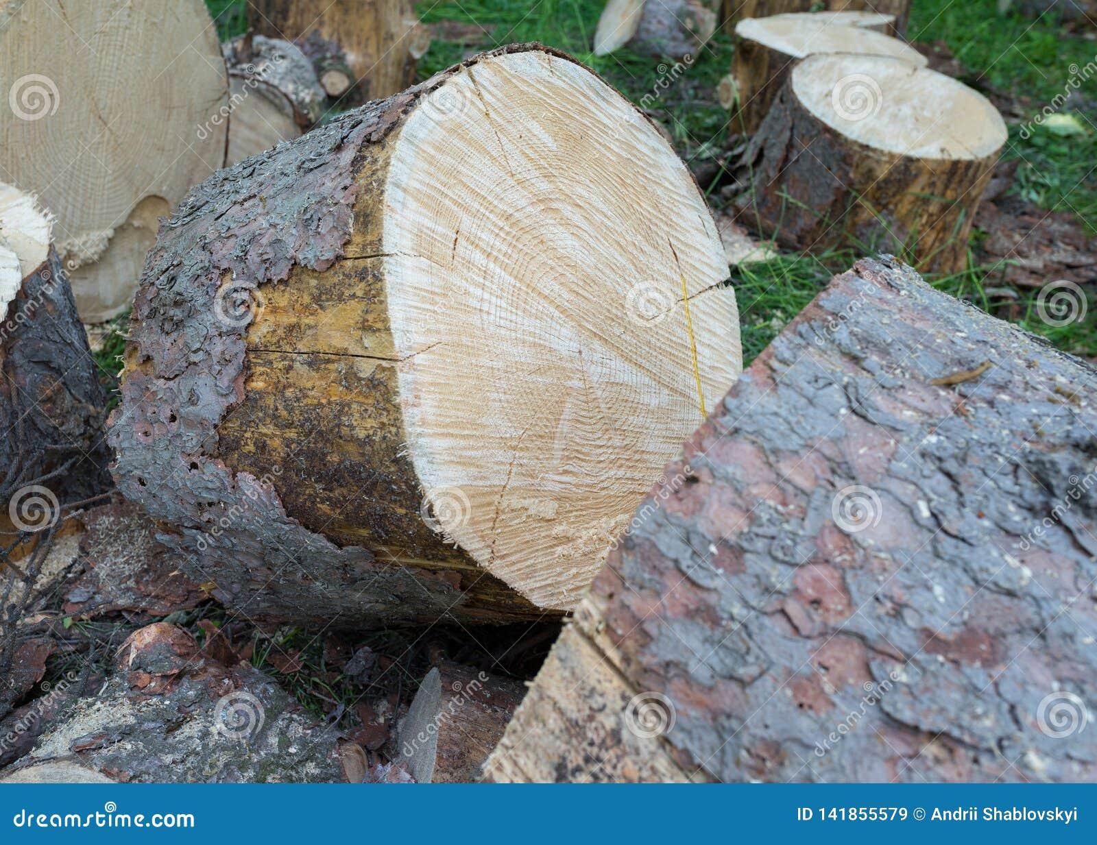 Souche en bois dans le plan rapproché en bois Plan rapproché de tronc d arbre coupé