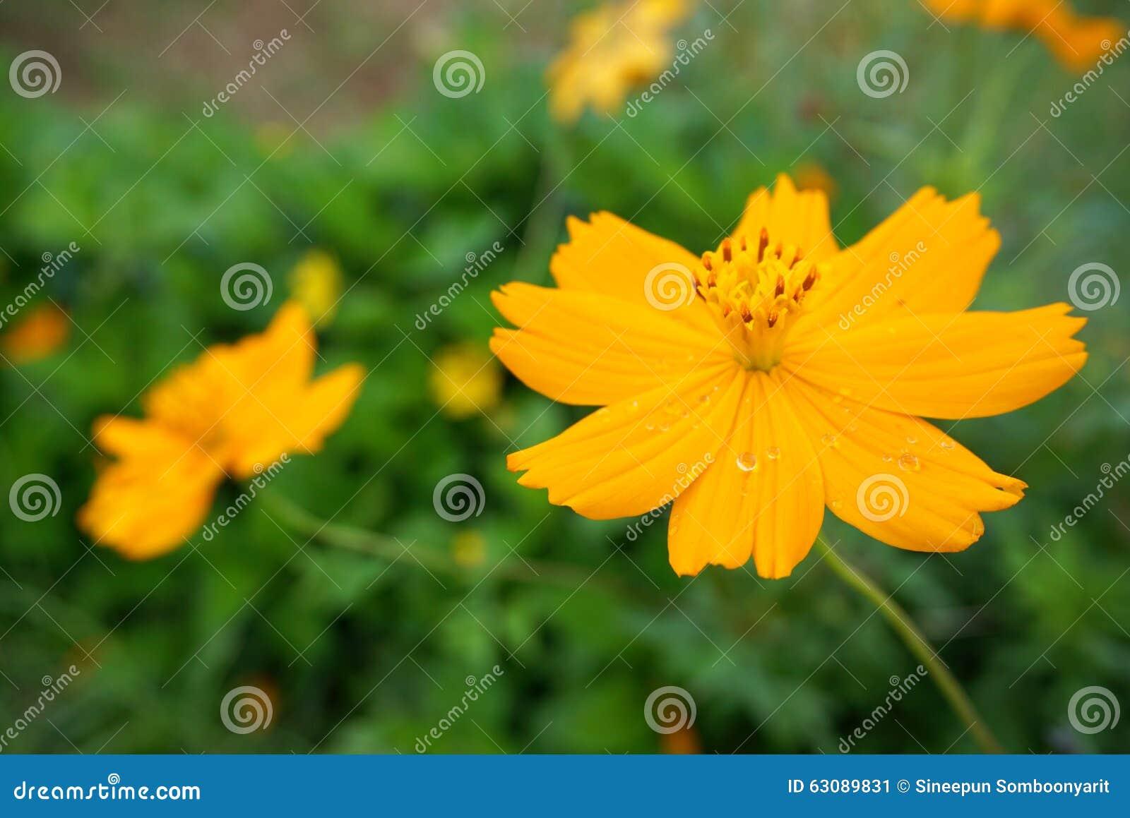 Download Souci Jaune Avec Le Pollen Jaune Image stock - Image du detail, tropical: 63089831