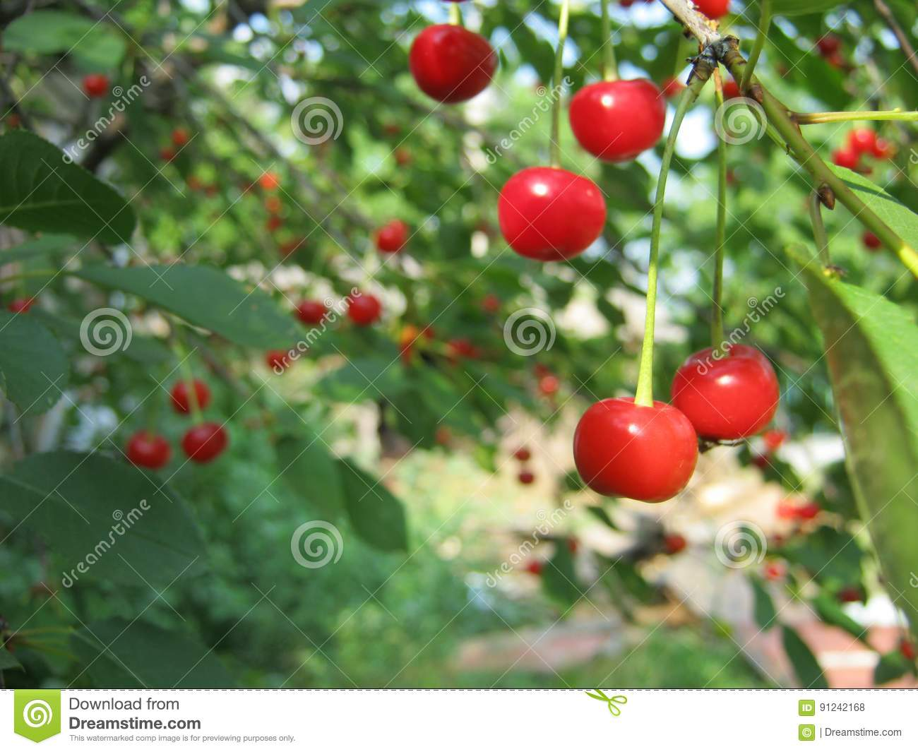 Sour cherry stock photo  Image of differences, nutritional