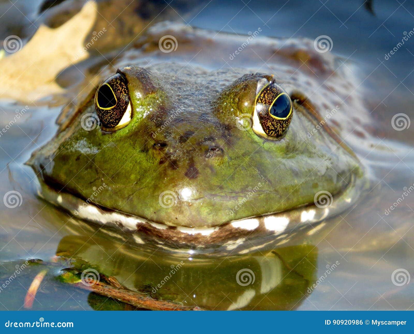 Sourire américain de grenouille mugissante