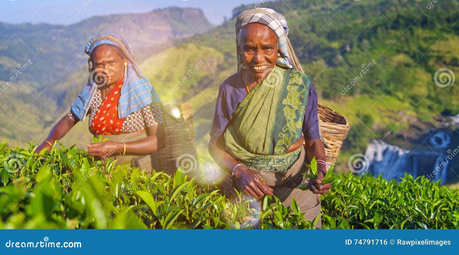 Sourire de deux récolteuses de thé comme ils sélectionnent le concept de feuilles