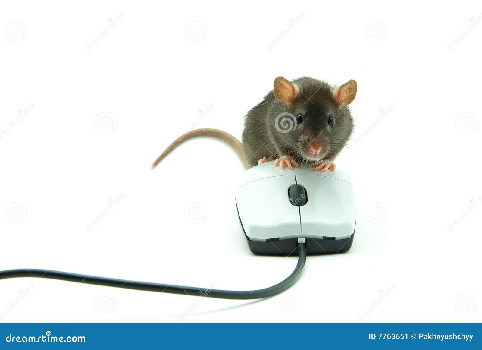 souris de rat et d 39 ordinateur image stock image 7763651. Black Bedroom Furniture Sets. Home Design Ideas