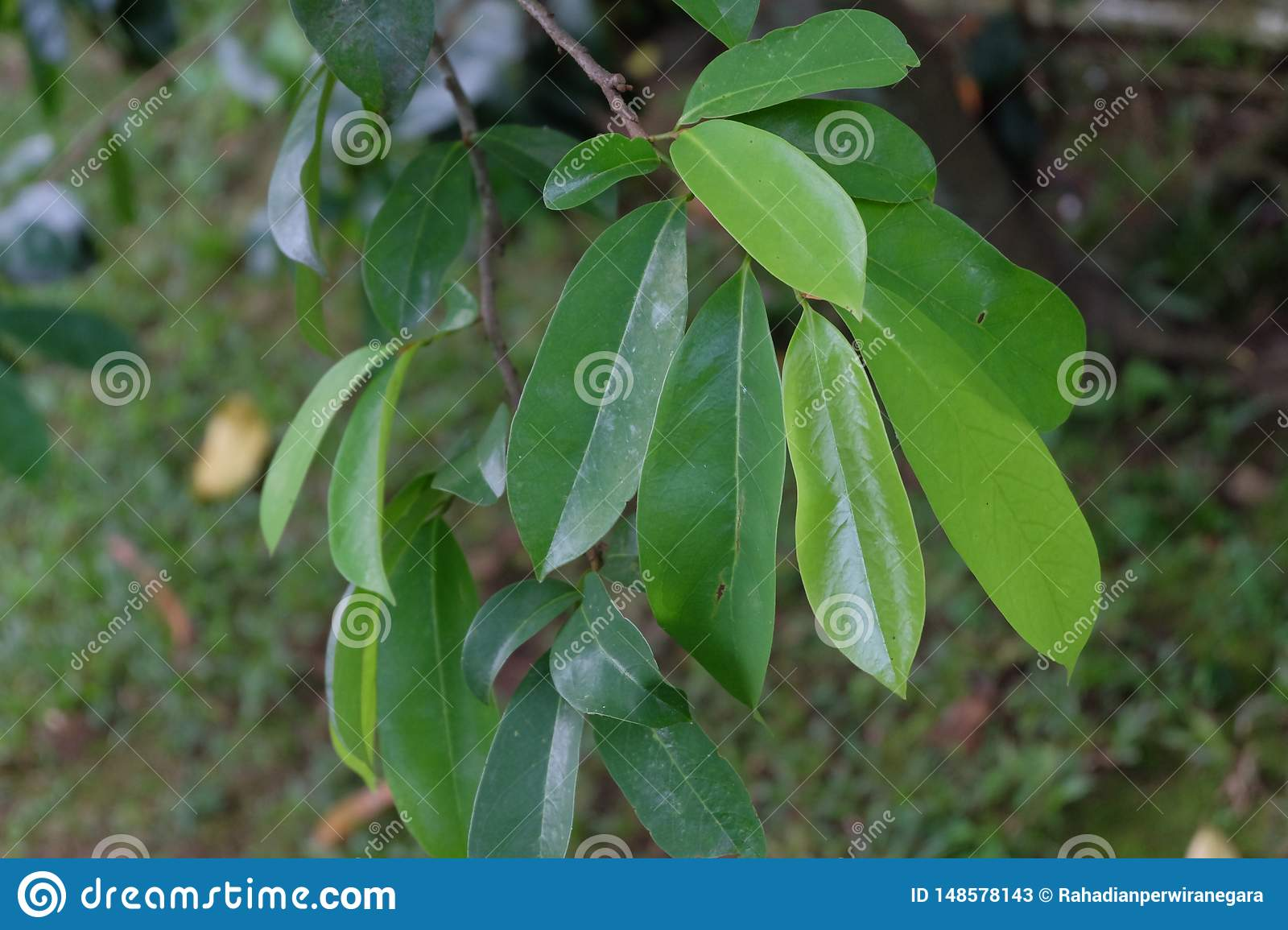 Soursop. evergreen tree with wide green leaves, a species of the genus Annona of the family Annonovye, the closest relative of