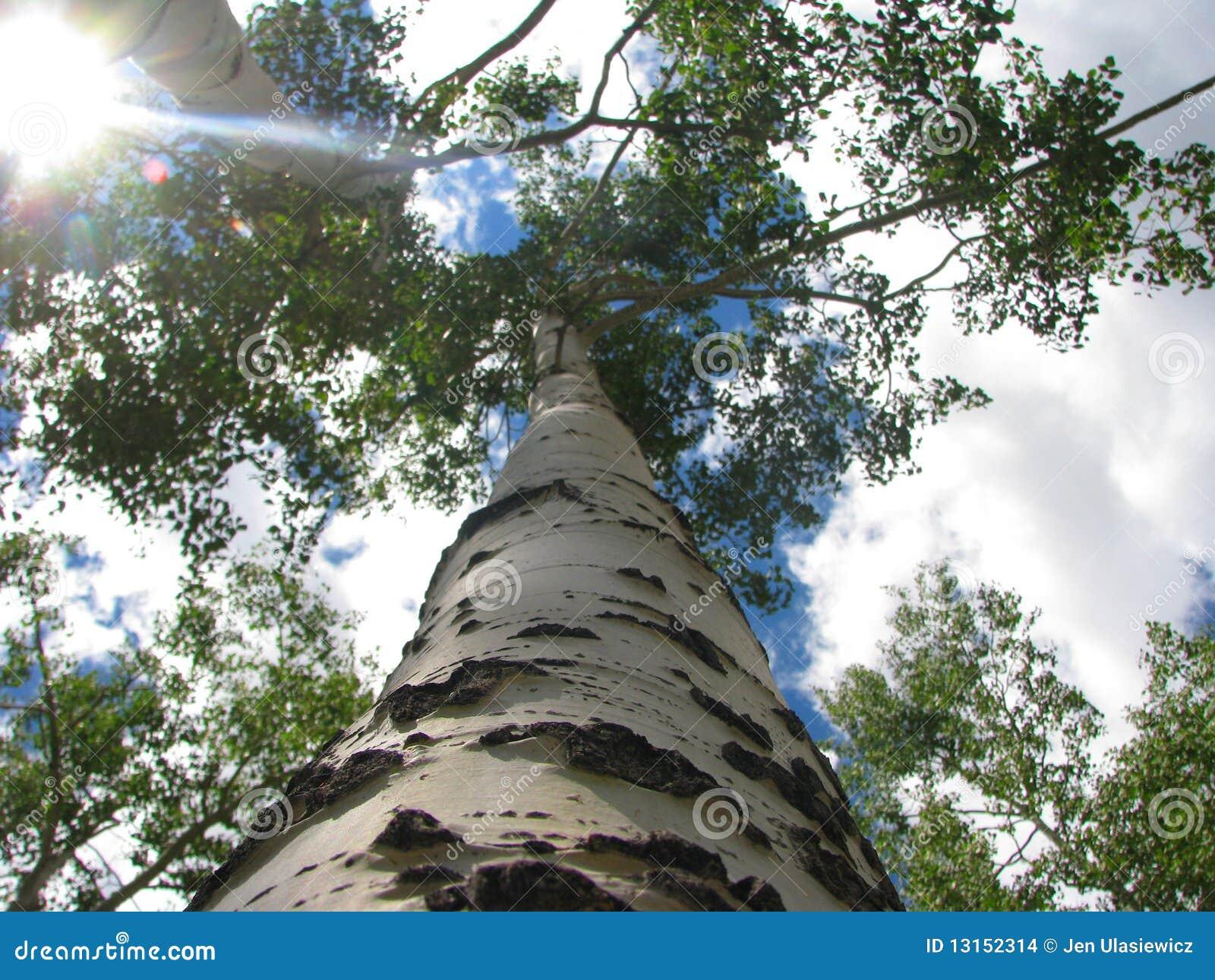 Sous l arbre ensoleillé d Aspen