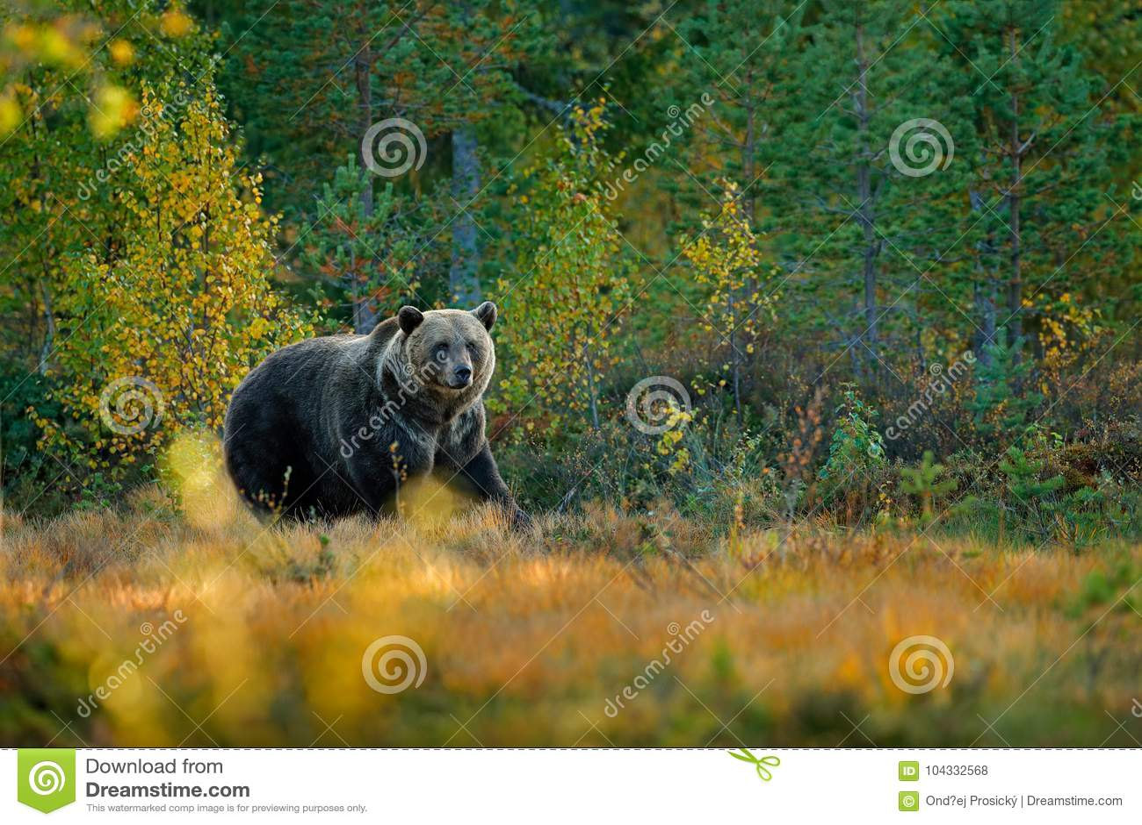 Soutenez caché dans les arbres jaunes d automne de forêt avec l ours Bel ours brun marchant autour du lac avec des couleurs de ch