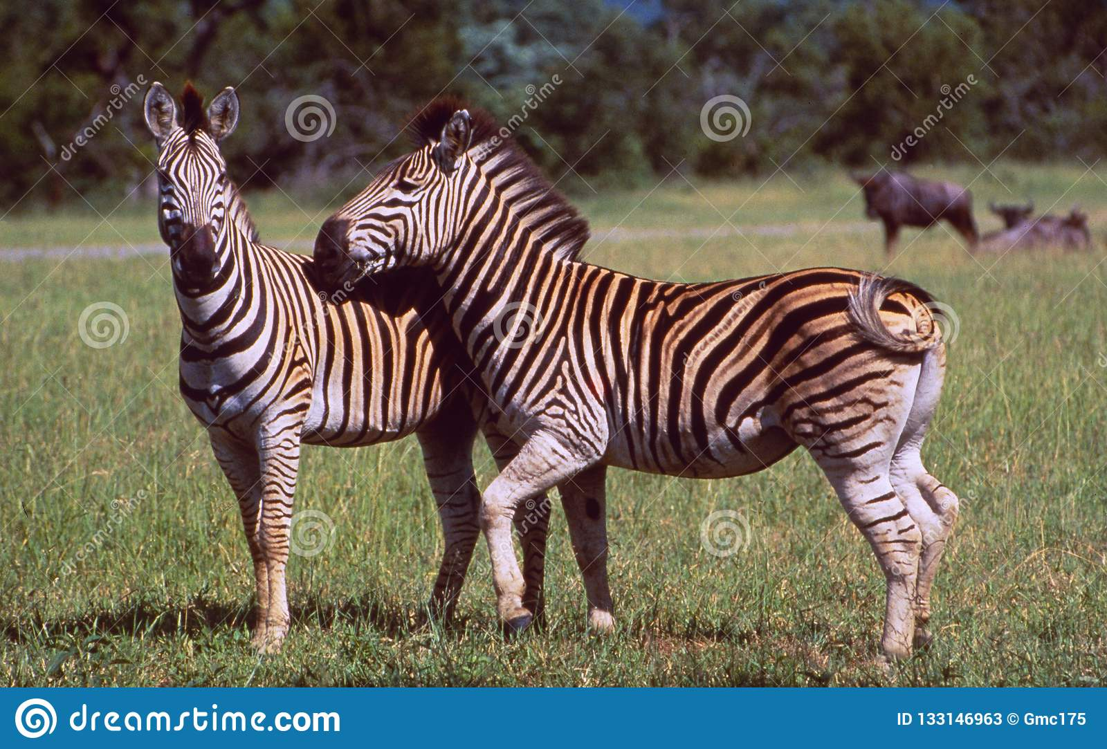 South Africa: Two Zebras in the wilderness of Hluhluwe Wildlife