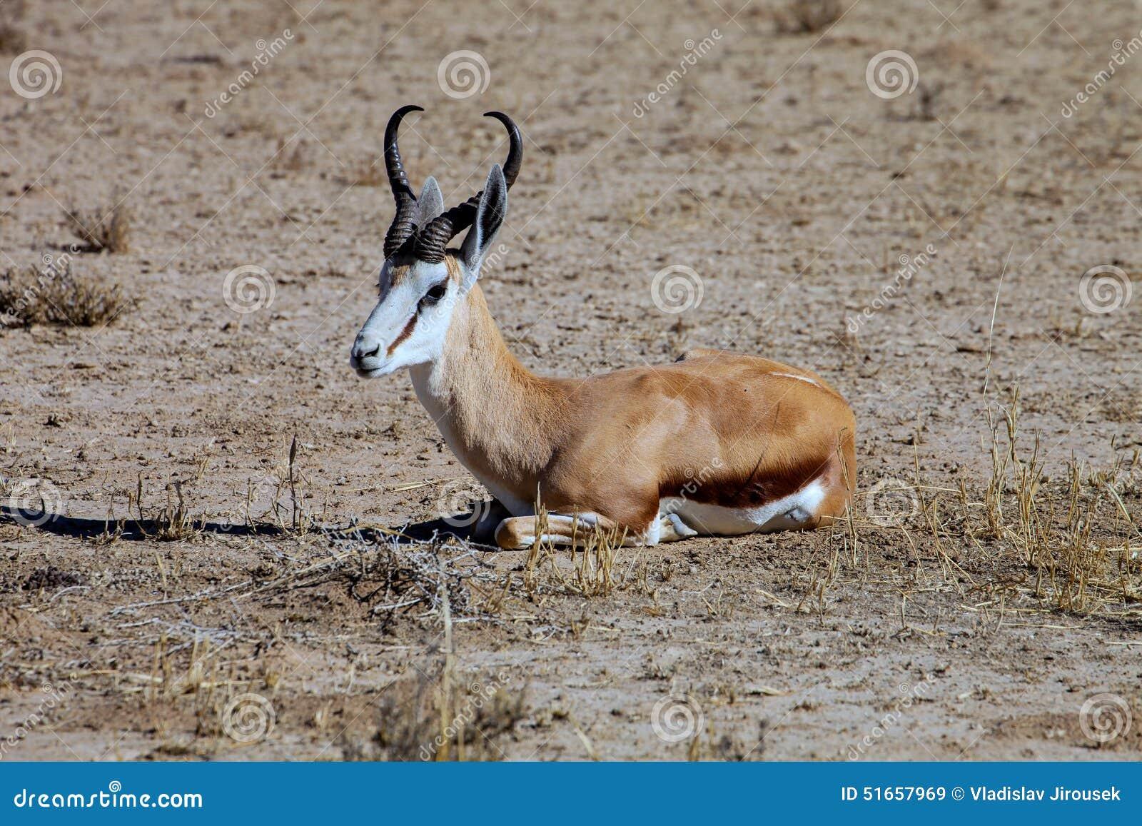 South African Ground Squirrel,Kalahari Stock Photo - Image ...