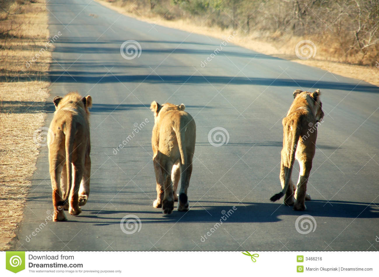 South African Lions on road