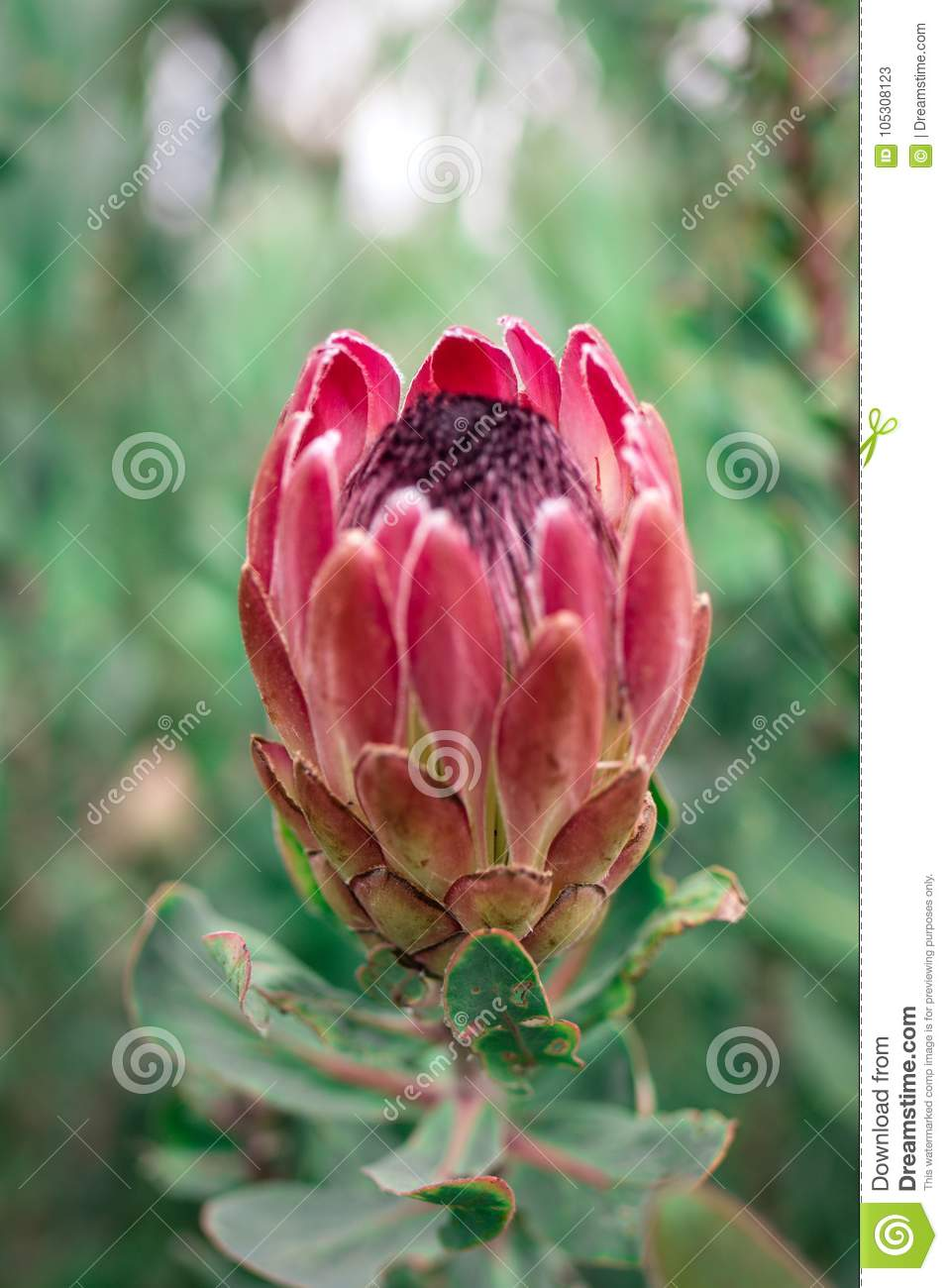 protea flower opened stock image image of spring african 105308123
