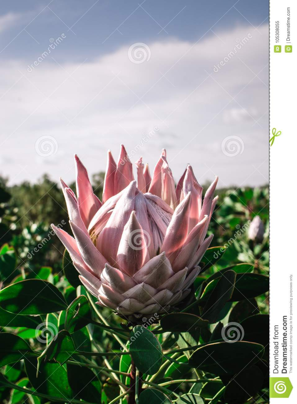 protea flower opened and pink stock image image of national
