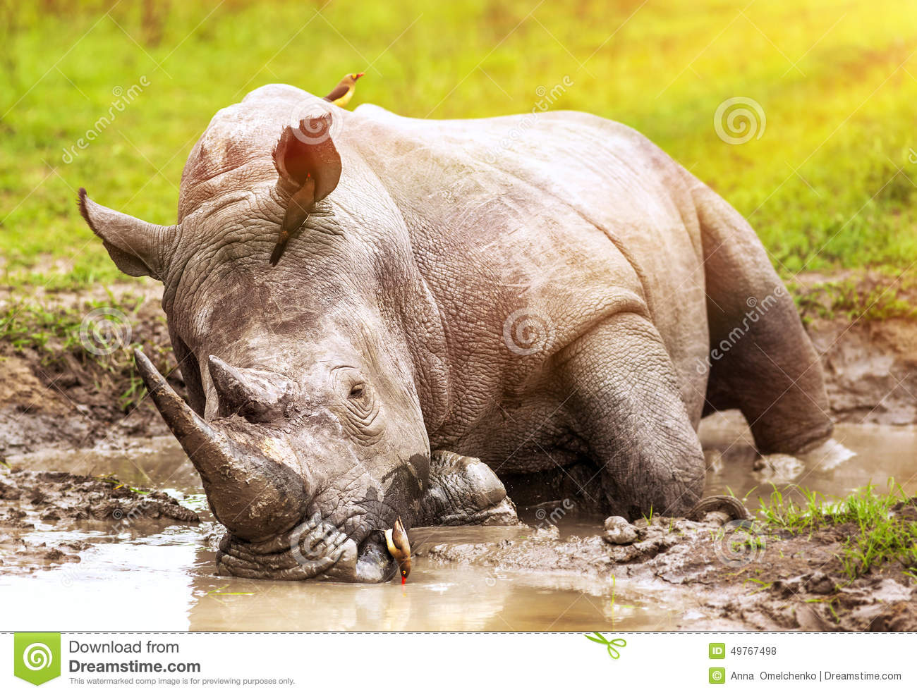South African wild rhino
