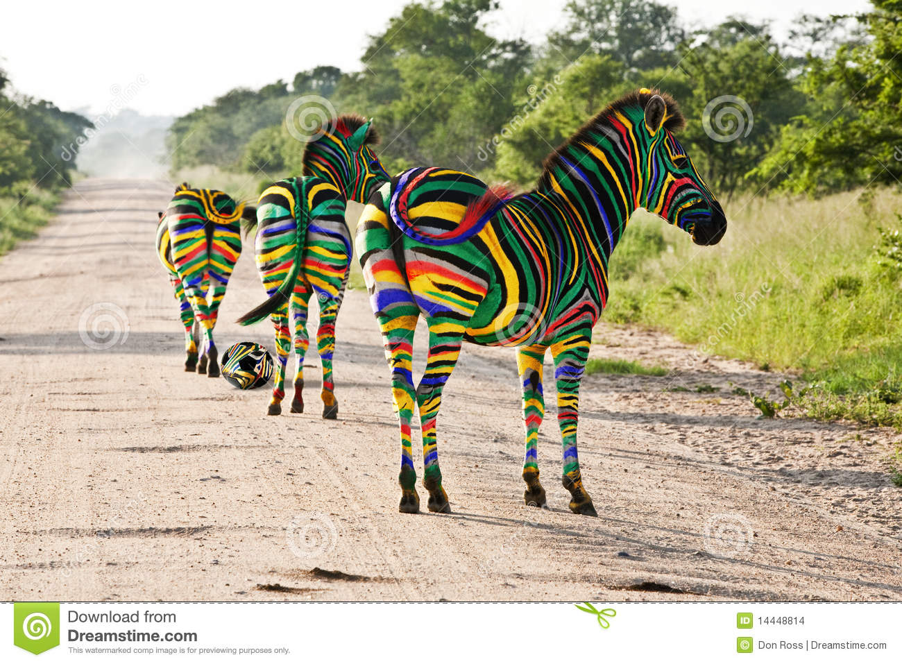 South African Zebras Stock Photo Image Of Protect Wildlife 14448814