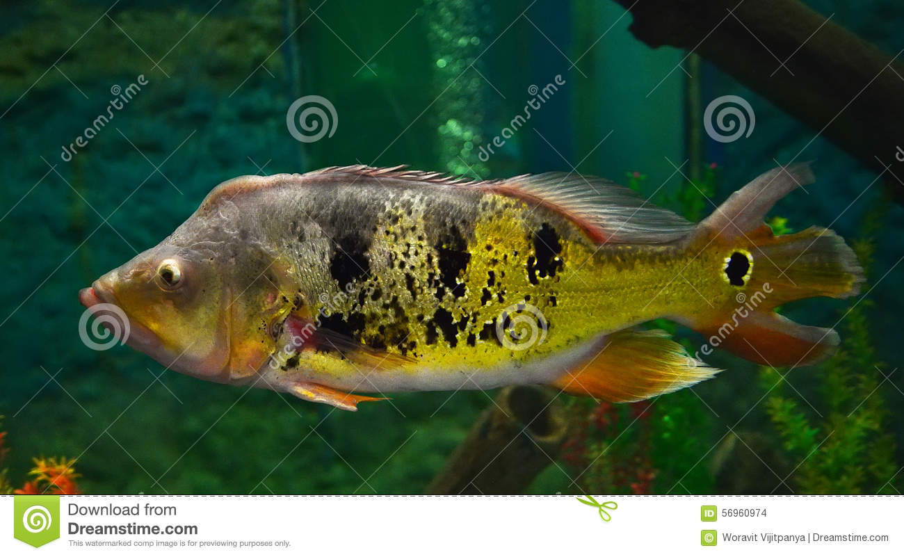 South American Cichlid Stock Photo Image 56960974