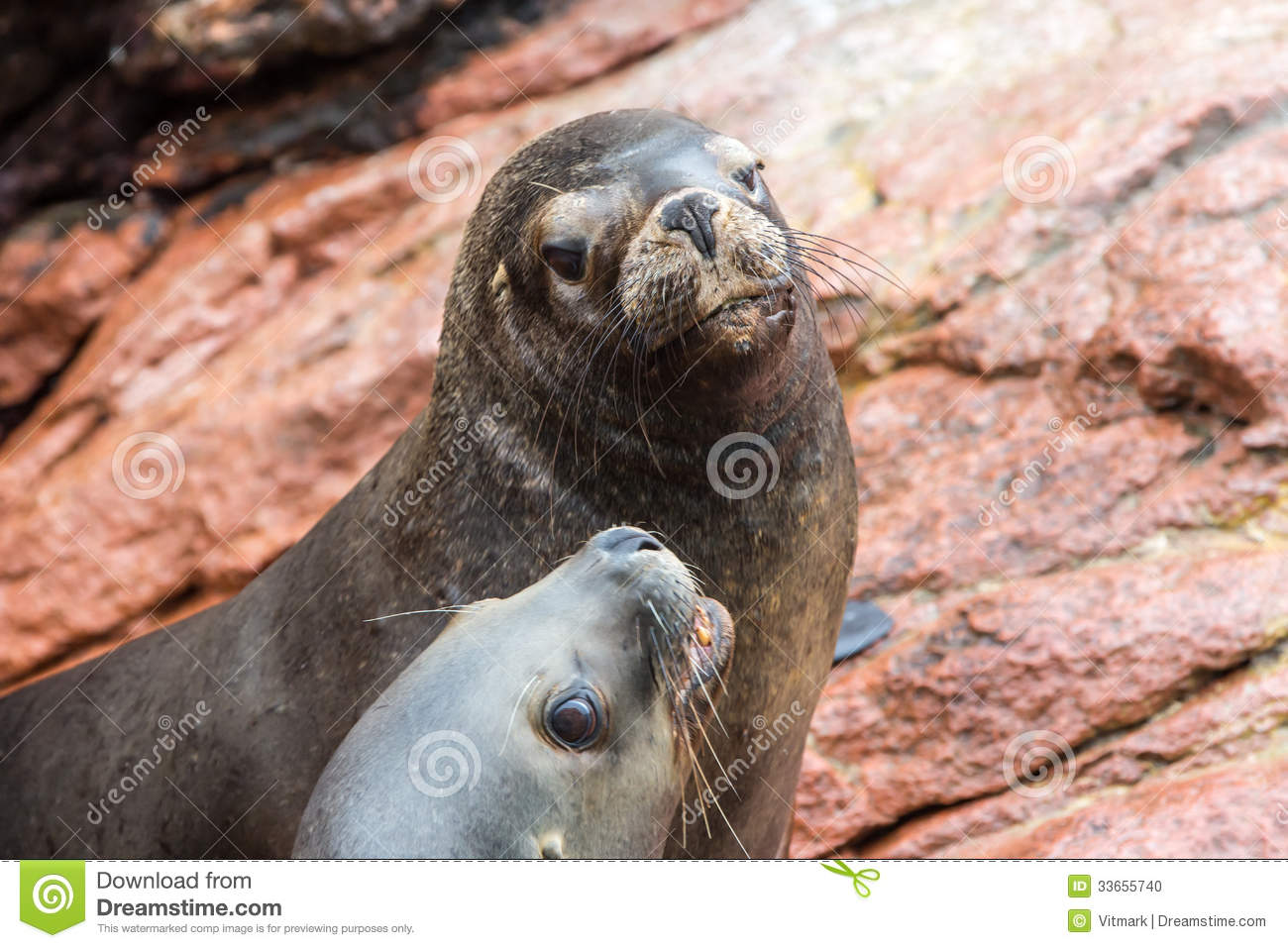 South American Sea Lions Relaxing On Rocks Of The ...