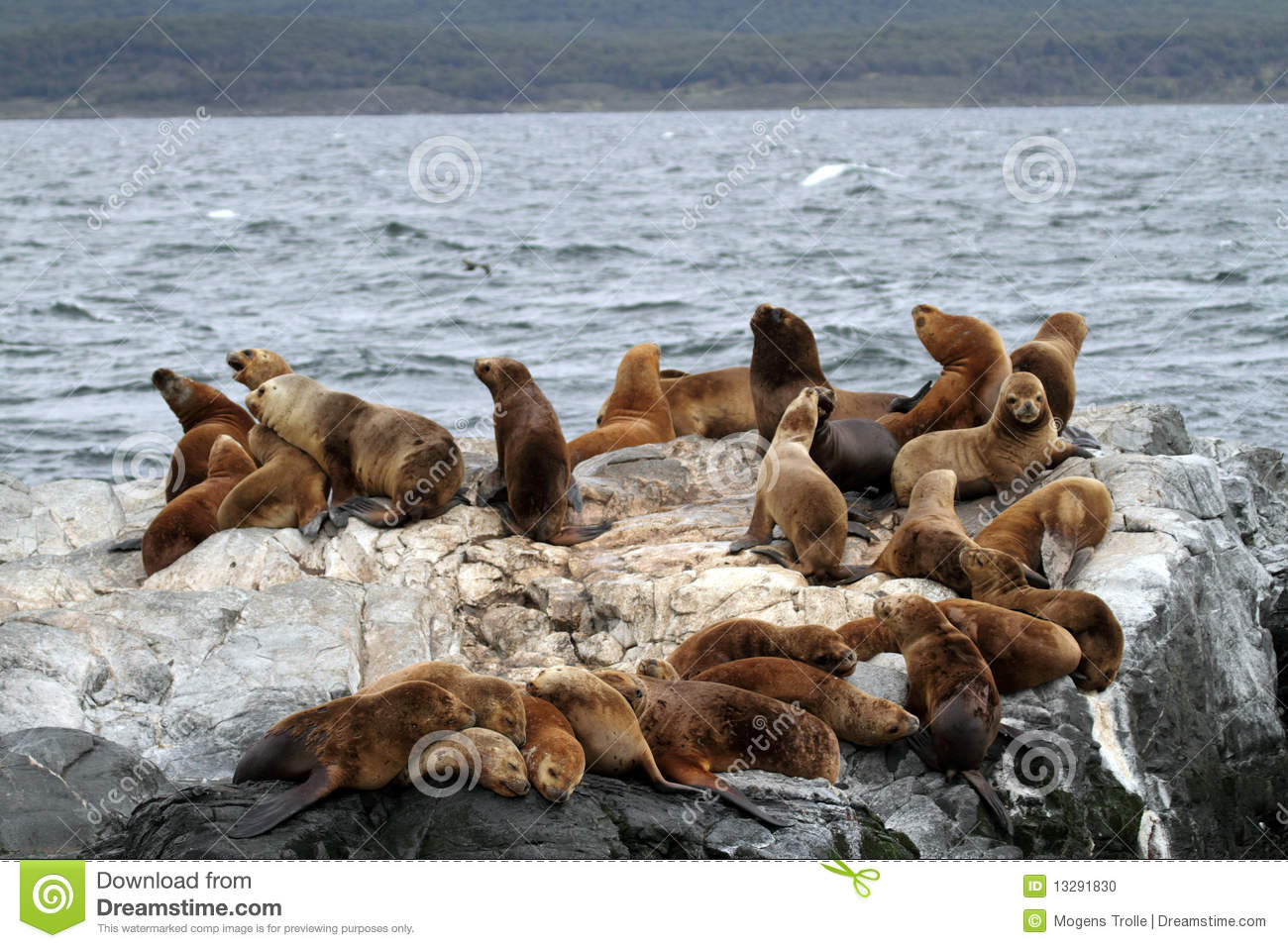 South American sea lions, Tierra del Fuego