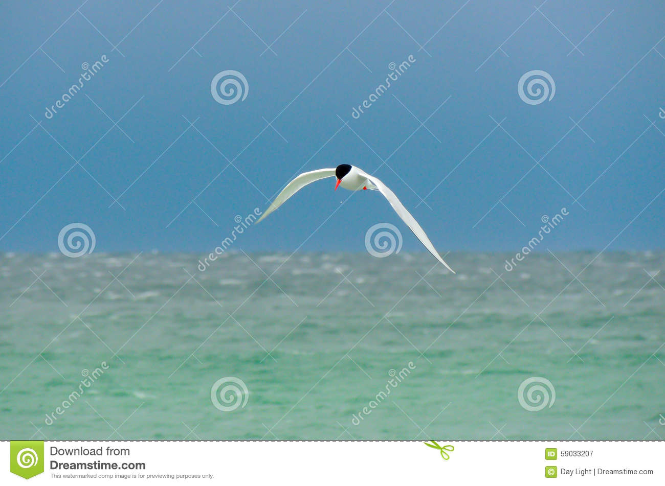South American Tern over the South Atlantic