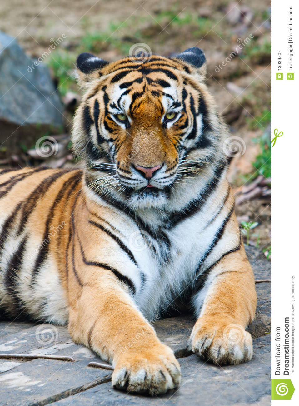 South China Tiger Stock Photography - Image: 13934502