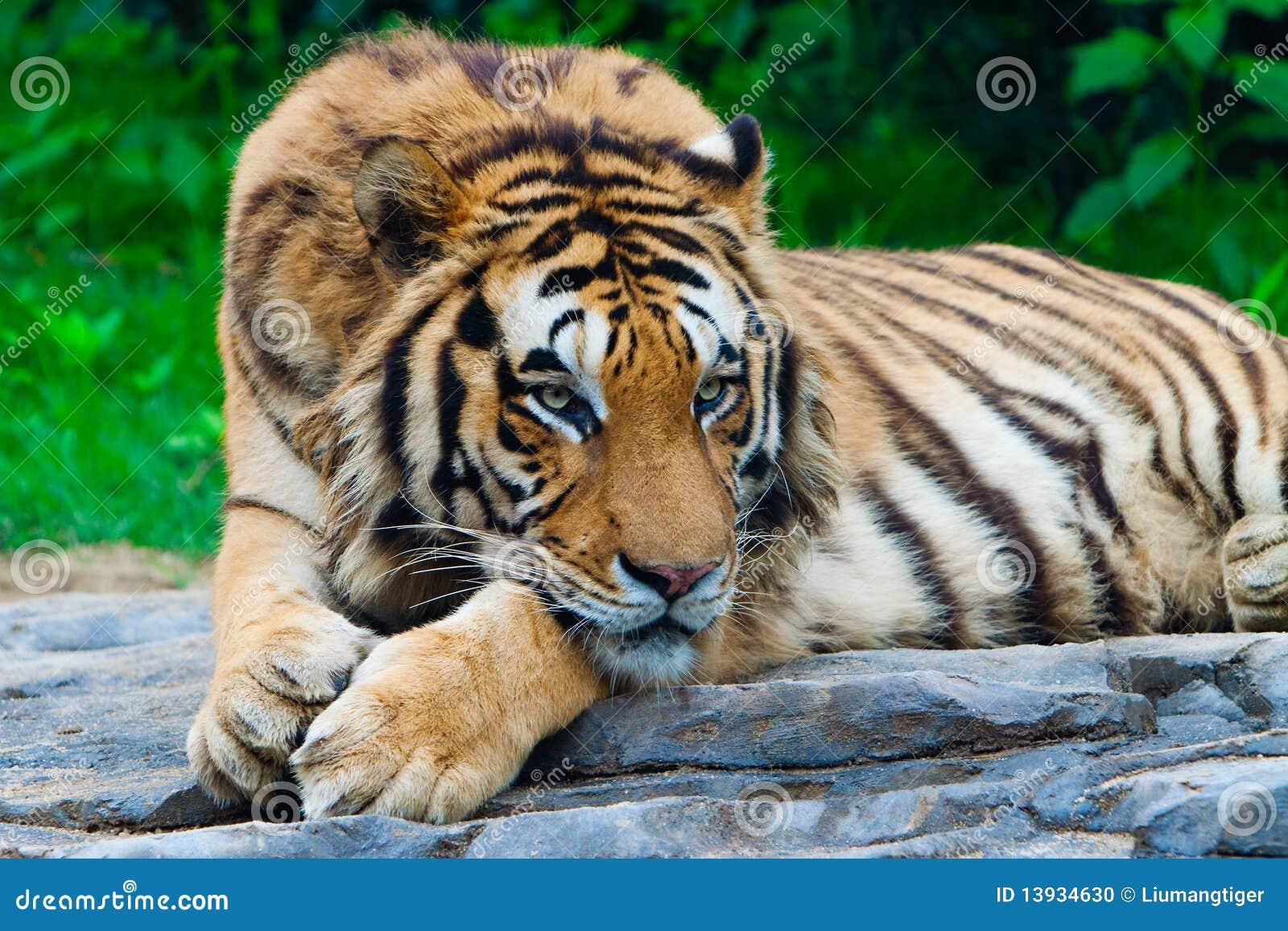 South China Tiger Stock Photo - Image: 13934630