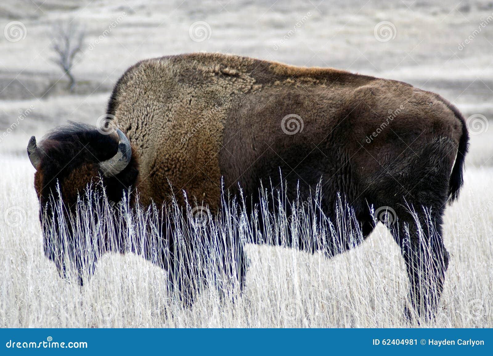 South Dakota buffel