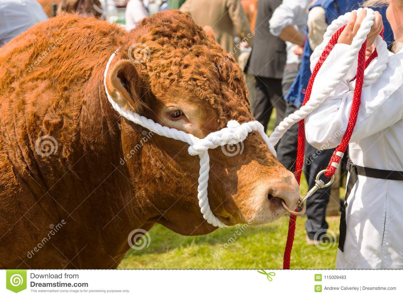 A South Devon bull at a show