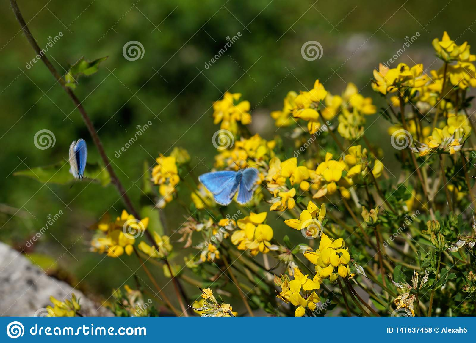Blue crimean butterflies in front of yellow flowers