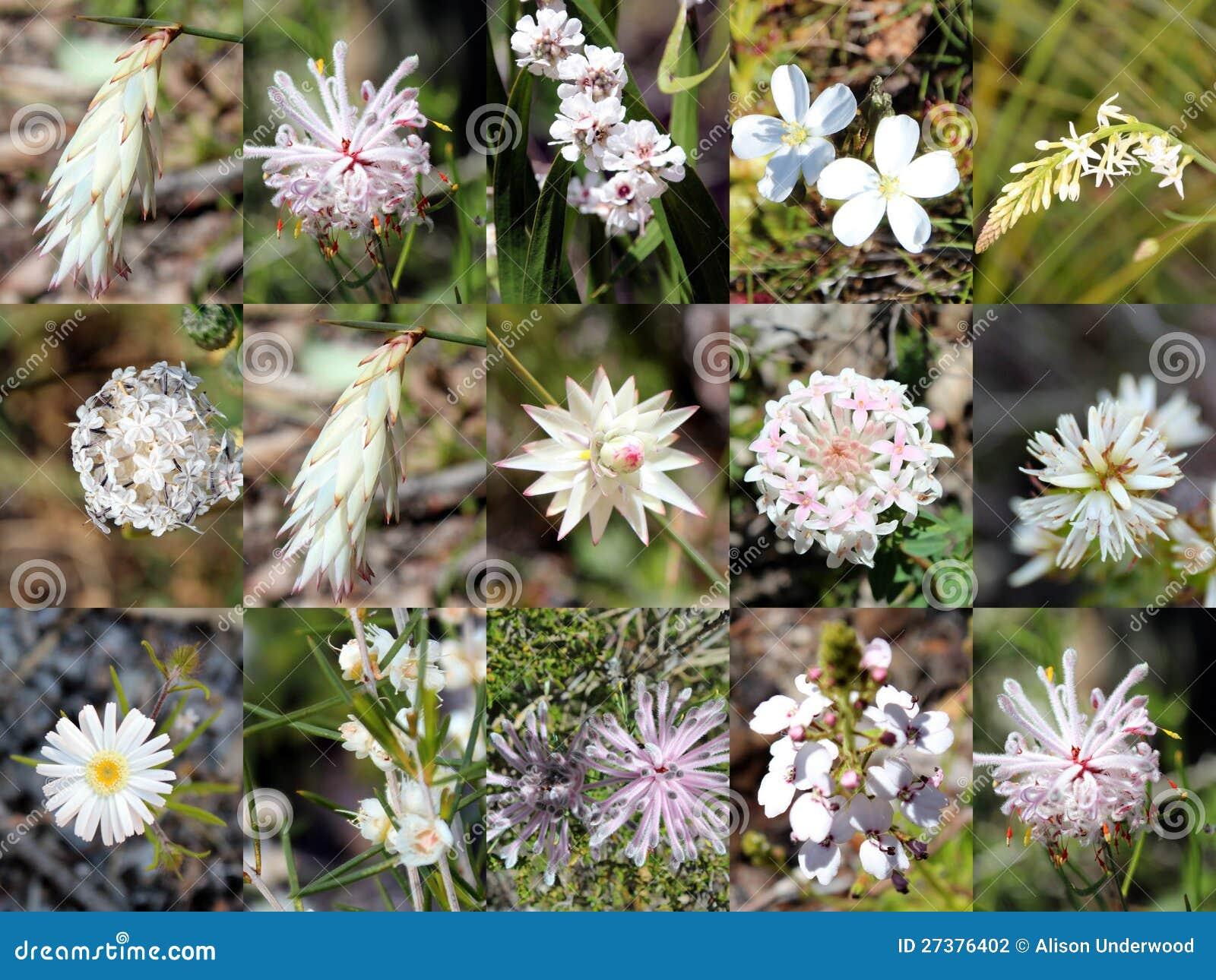 South West Australian White Wild Flowers Collage Stock Photo Image