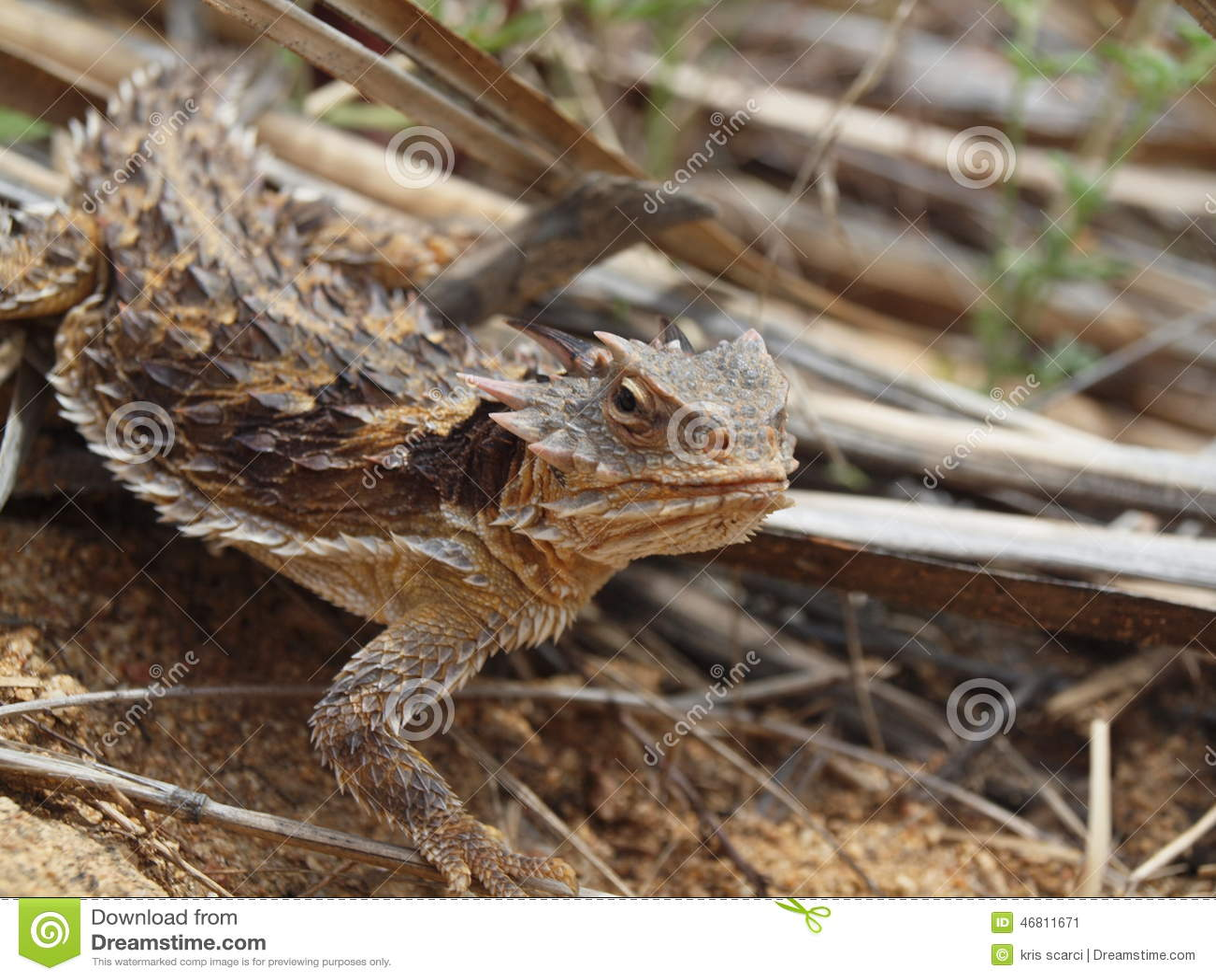 Southern Desert Horned Lizard