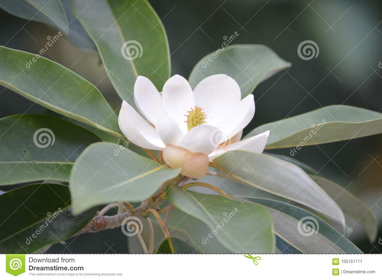 The southern magnolia tree in bloom during august stock image the beautiful southern magnolia tree in full bloom with white flowers in the middle of august in the alabama summer mightylinksfo