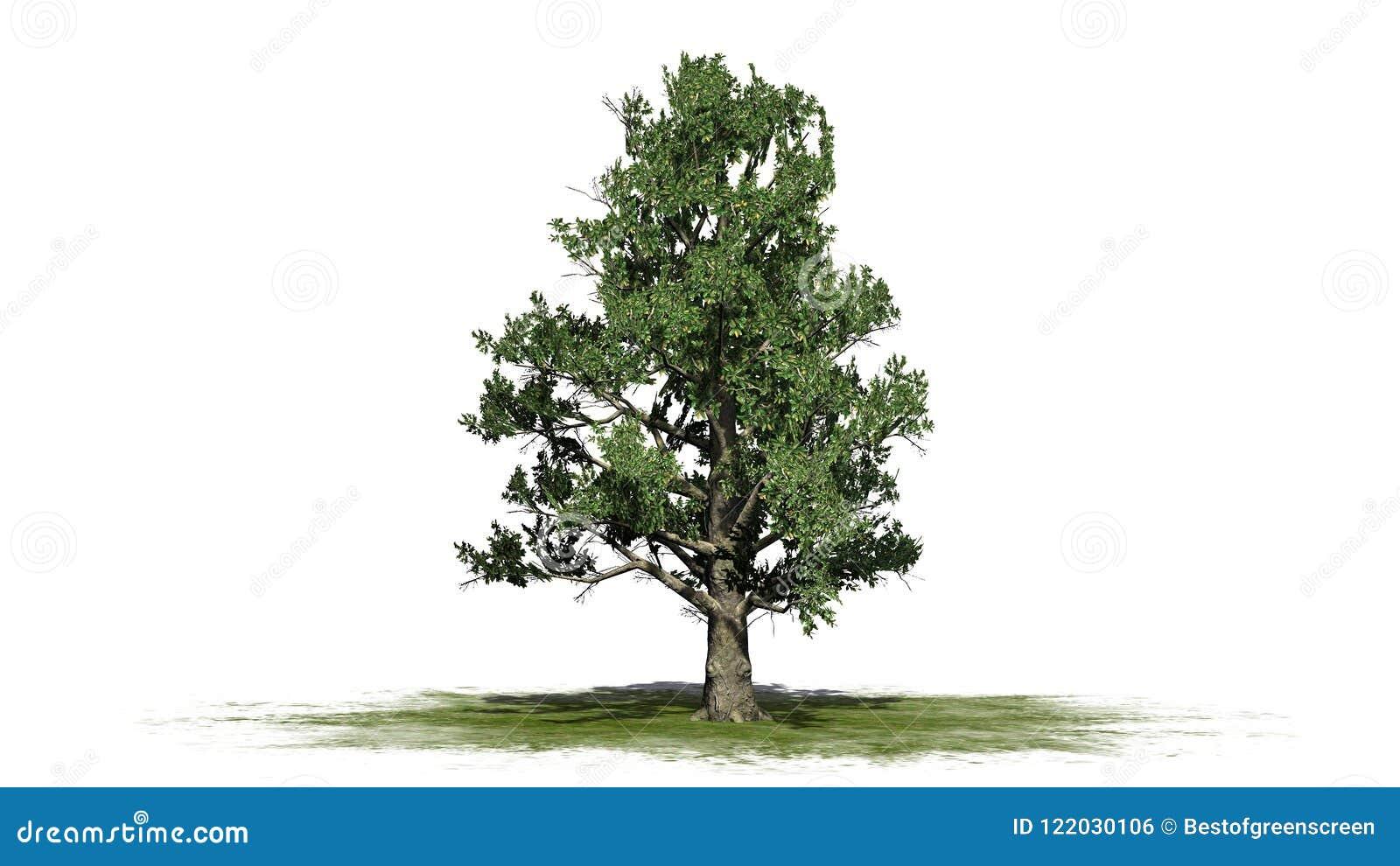 Southern Magnolia Tree Stock Illustration Illustration Of Landscaping 122030106