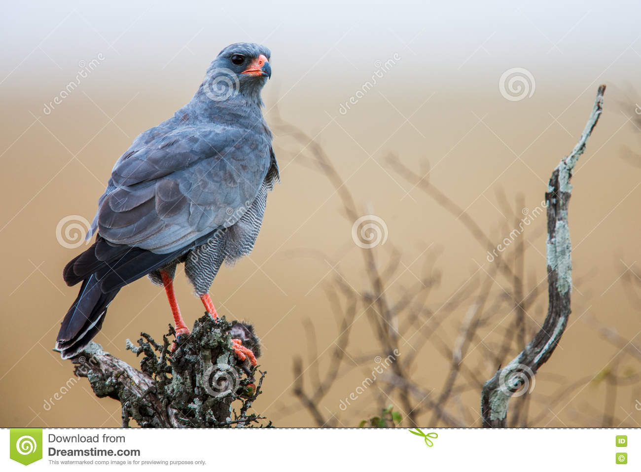Southern Pale Chanting Goshawk ( Melierax canorus), South Africa