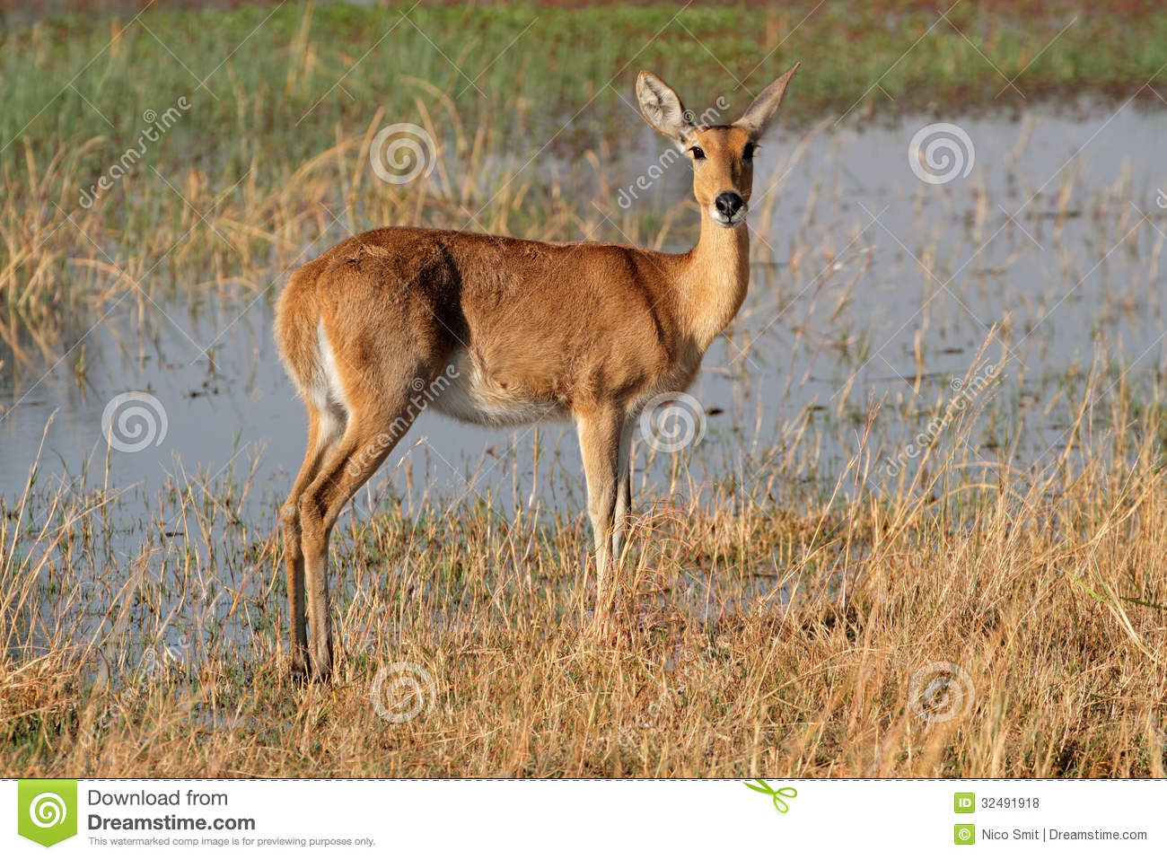 Southern Reedbuck Pictures, Southern Reedbuck Images | NaturePhoto